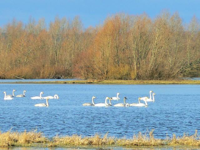 Sångsvanar. Fågelobservationer i Polen - Hit The Road Travel