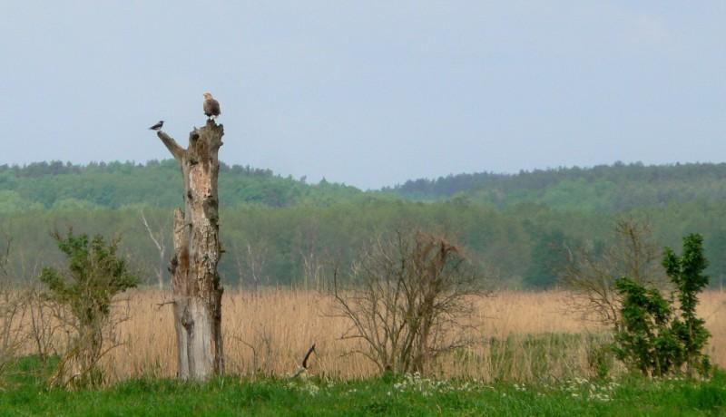 Havsörn. Fågelobservationer i Polen - Hit The Road Travel