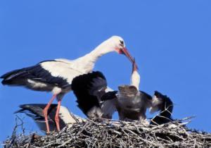 Polska fåglar